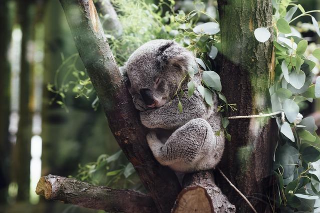 Koala – austrálsky lenivec