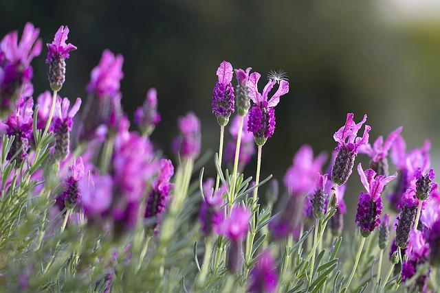 Levanduľa, drobný zázrak prírody